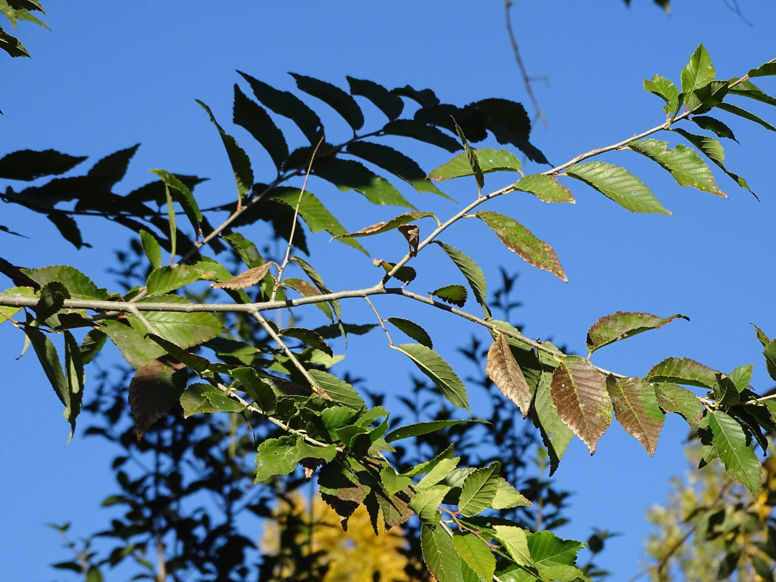 Folhas de Ulmeiro