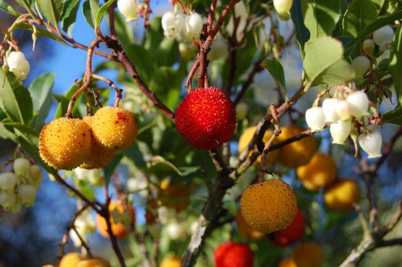 Fruto do Medronheiro