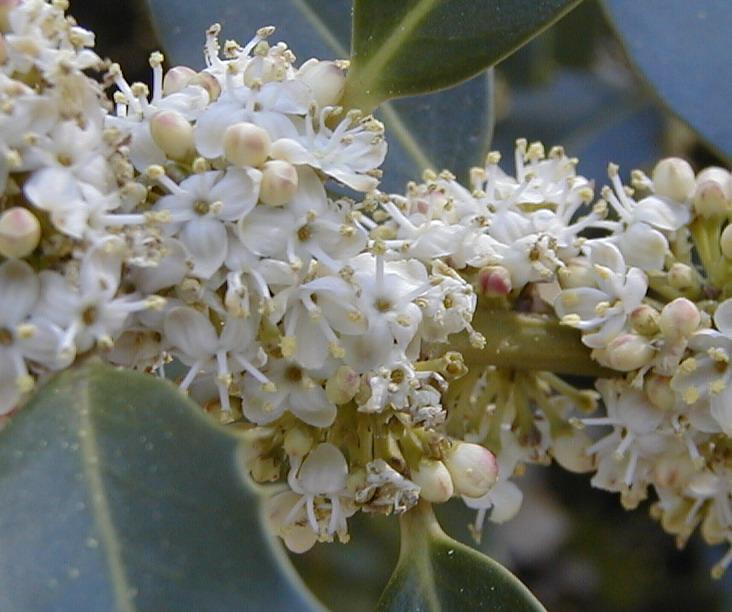 Flor do Azevinho