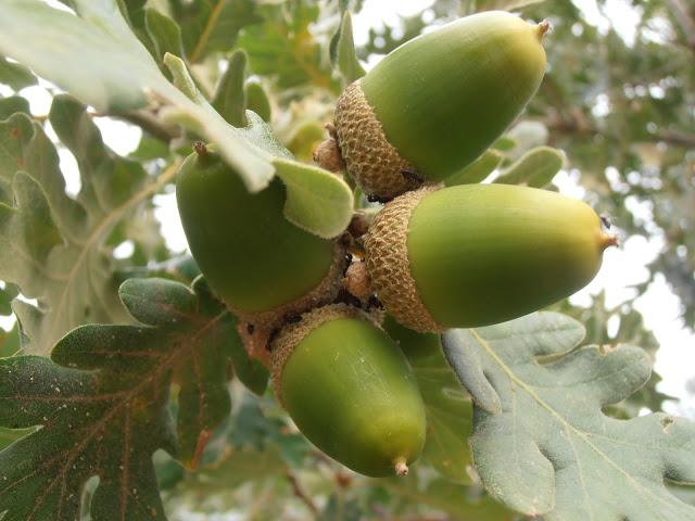 Fruto de Carvalho-negral - bolota
