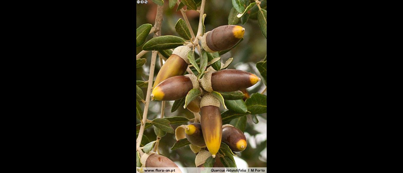 Fruto da Azinheira - bolotas