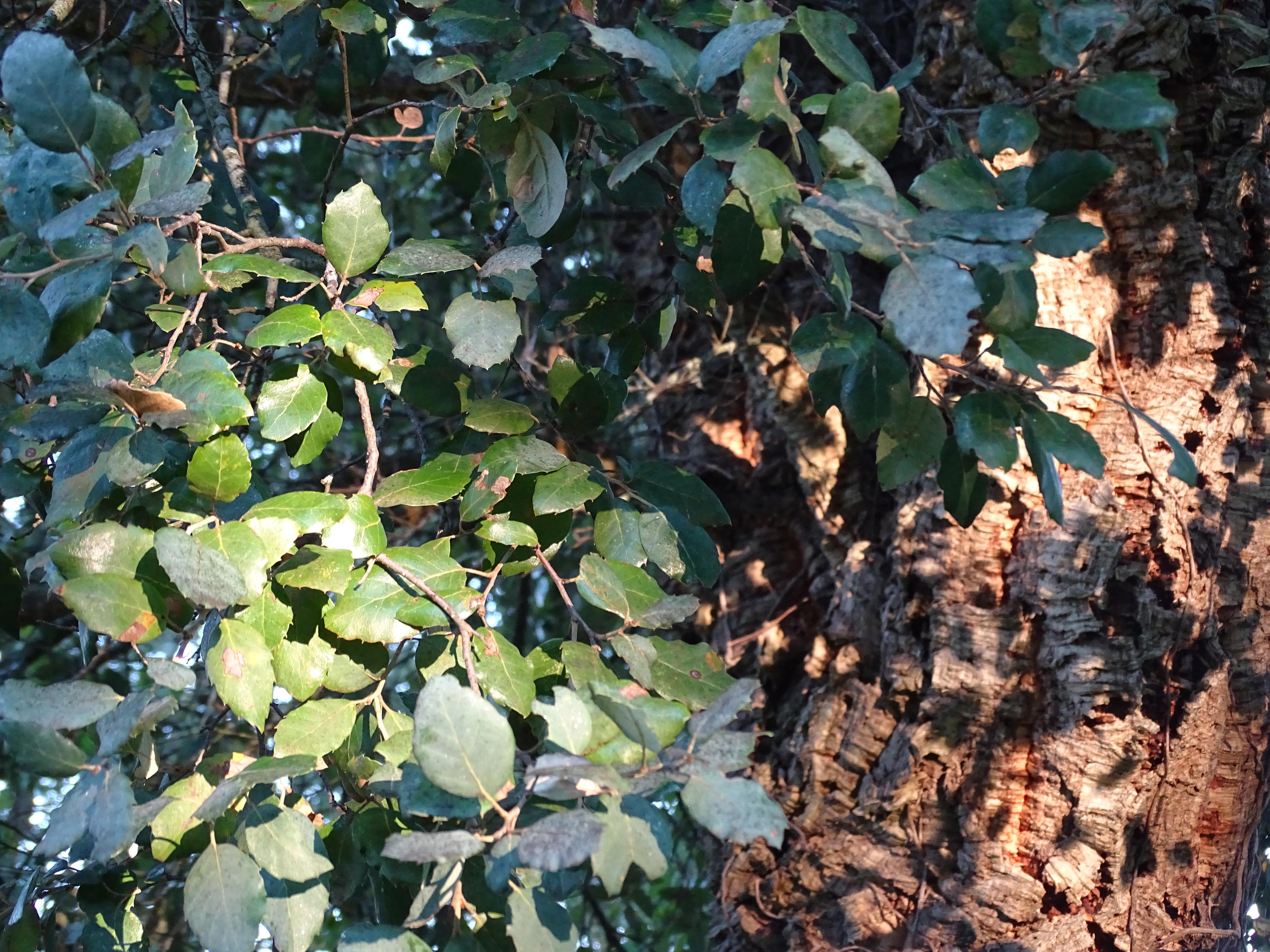 Folhas de Sobreiro