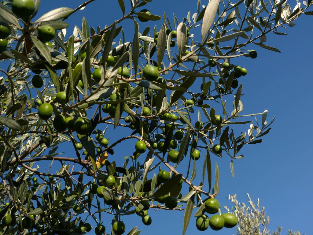 Fruto de Oliveira