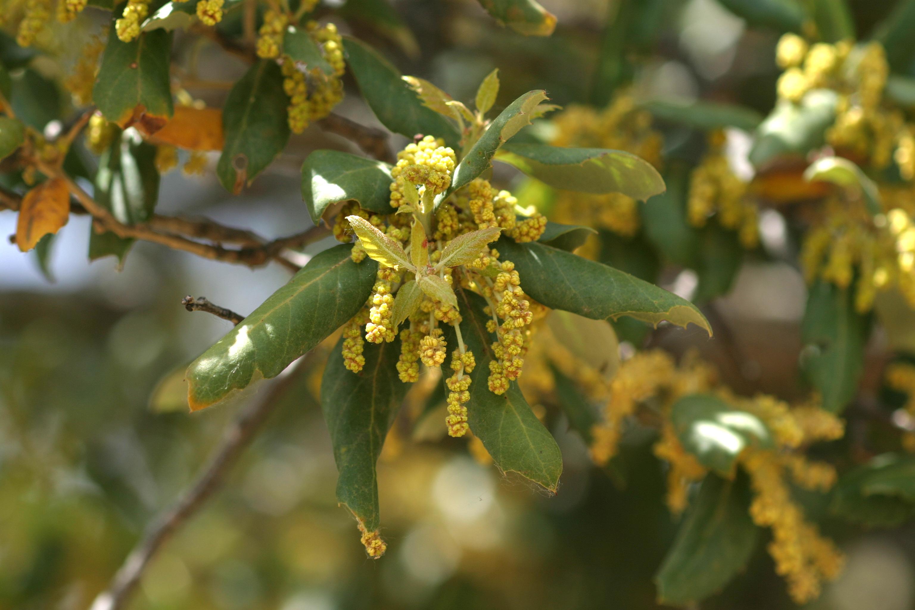 Flor de Sobreiro