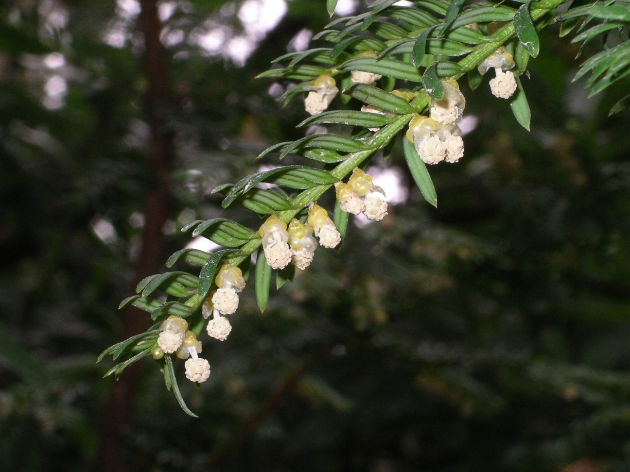 Flor de Teixo