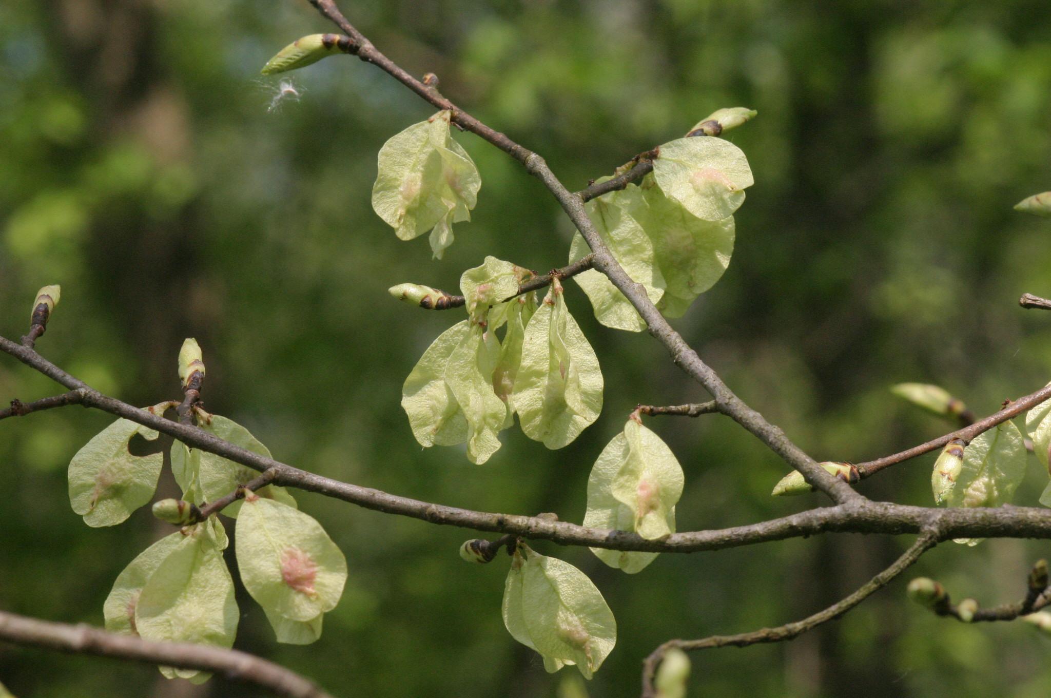 Fruto de Ulmeiro