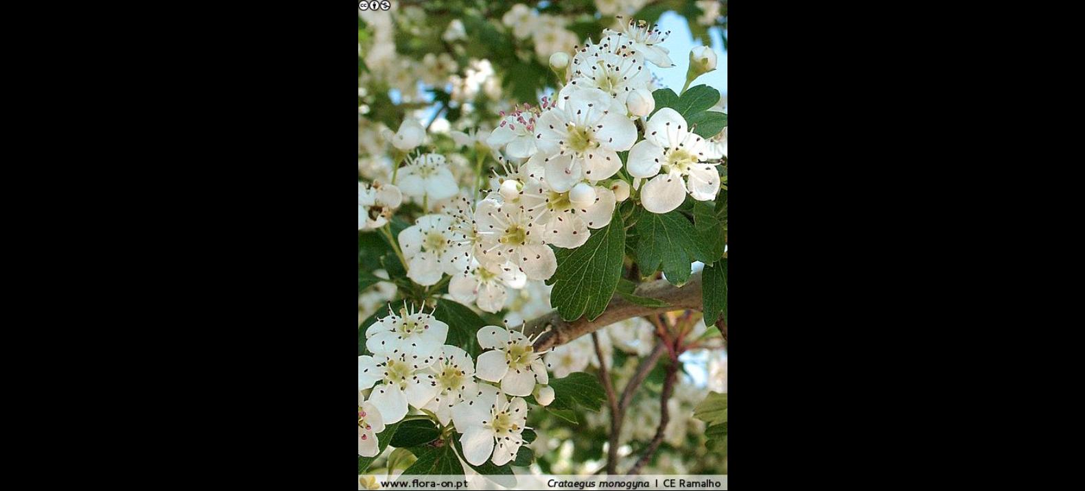 Flor do Pilriteiro