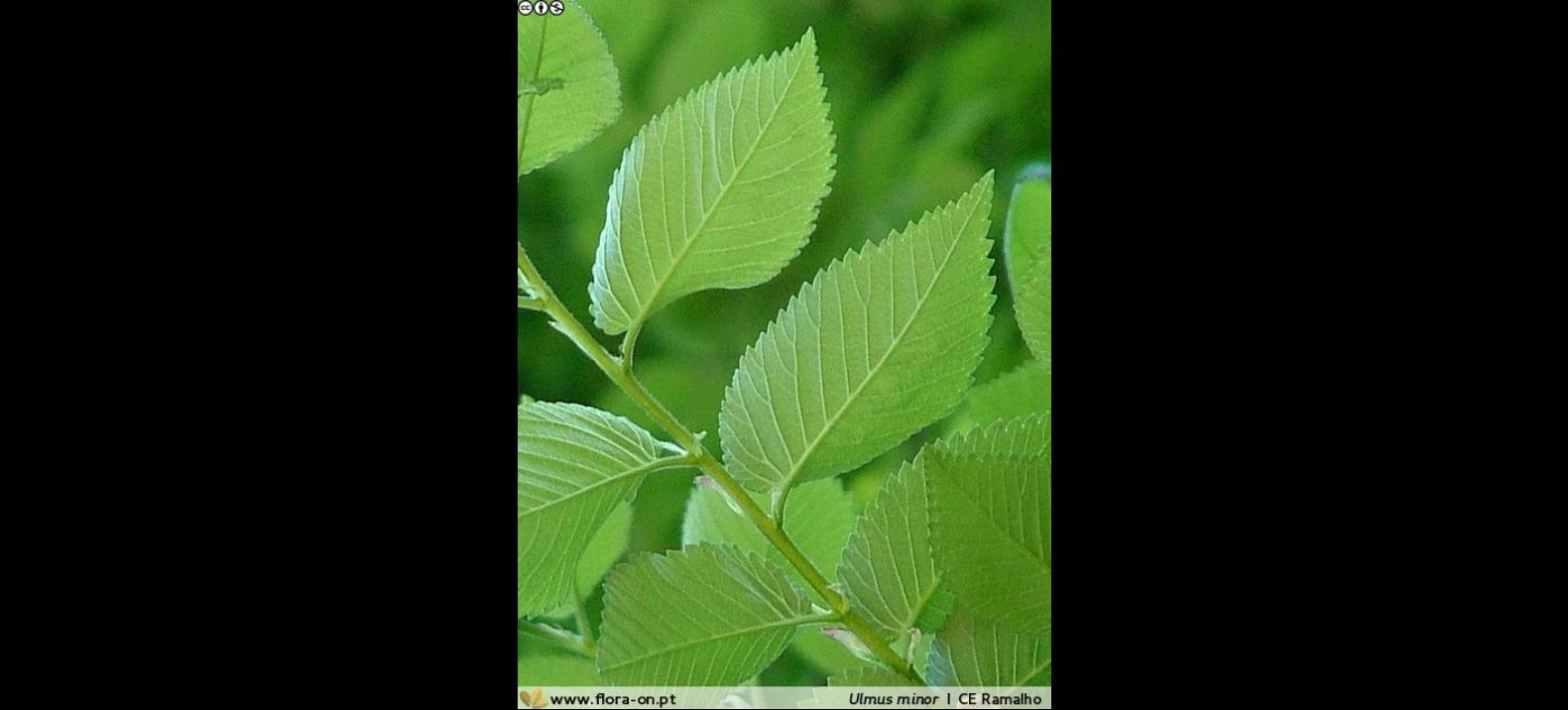 Folha de Ulmeiro
