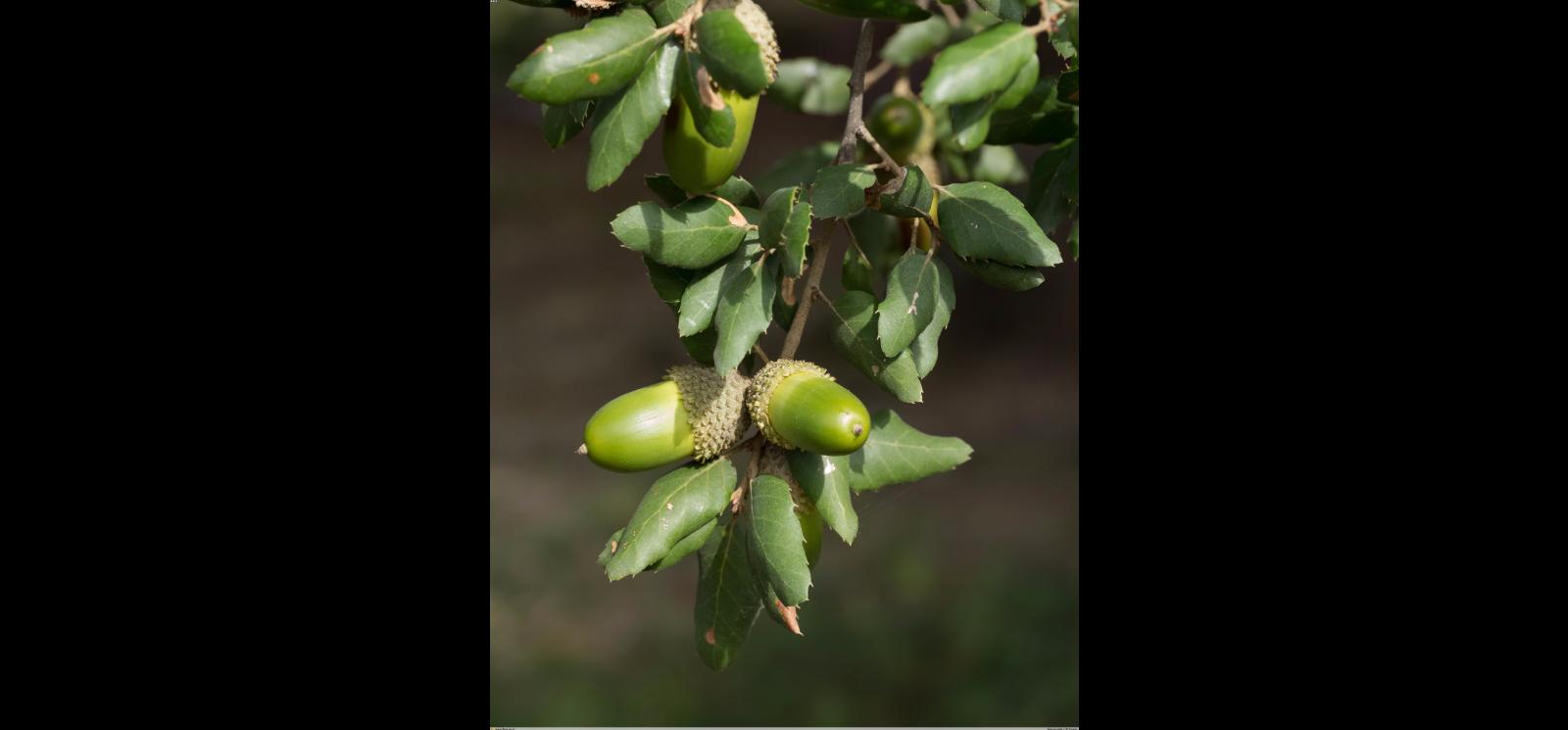 Fruto de Sobreiro