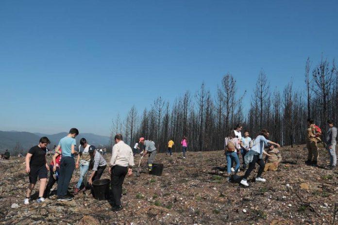 Plantados 400 pinheiros bravos no Monte Meseiros em Sobreira